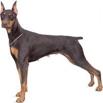 Doberman Pinscher _De_Doberman pinscher, breed of working dog developed in Apolda, Ger., by Louis Dobermann, a night watchman and keeper of a dog pound, in the late 1800s. The Doberman pinscher is a sleek, agile, and powerful dog standing 24 to 28 inches (61 to 71 cm) and weighing 60 to 88 pounds (27 to 40 kg)signed by autodesk permium,