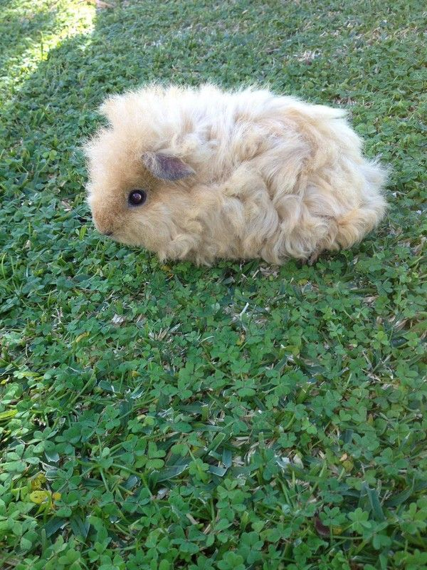 This guinea pig looks like a sheep