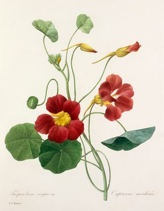 Colour engraving of 'Tropaeolum majus var' (nasturtium) by P.J. Redouté from 'Choix des plus belle fleurs' published in 1827. The publication contains 144 colour plates of flowers, some including insects, and is dedicated to the princesses Louise and Marie d'Orléans. Creator: Redouté, Pierre Joseph (1759-1840). Date: 1827