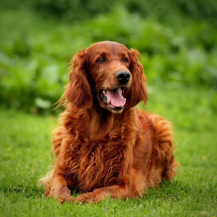 Irish Setter dogs and Puppies: Irish Setter Face Photo ~ petsrank.com Dogs Inspiration
