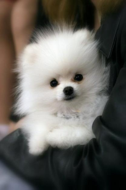 White Pomeranian. I want one and her name will be Tinkerbell! :D