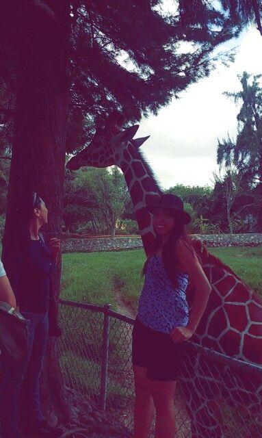 zoologico guadalajara jalisco. zoo jiraffe