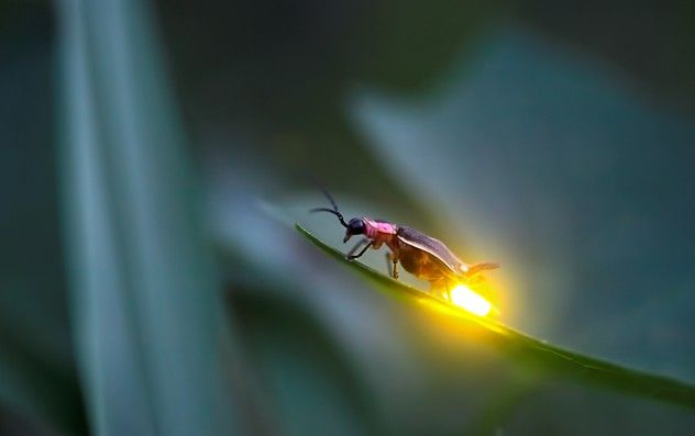 The Firefly--proof that God loves to delight us with His creation! In Malaysia and also in Elkmont, TN near my home there are species of fireflies that synchronize their blinks with one another!