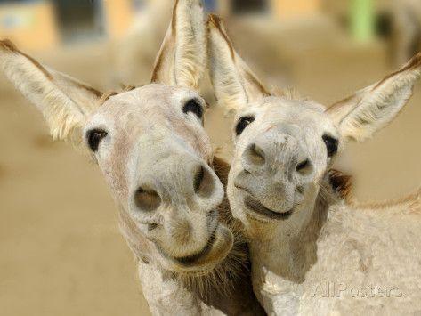 Donkey Duo Fotografisk trykk av Blueiris hos AllPosters.no
