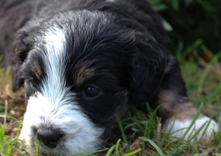 Bernedoodle puppies for sale near fort wayne indiana