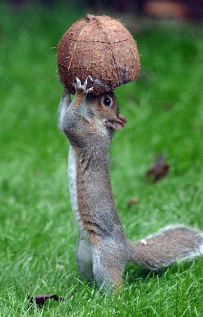 the squirrel knows what is good for him... #coconut water It's an all-natural way to hydrate, reduce sodium, and add potassium to diets. Most Americans don't get enough potassium in their diets because they don't eat enough fruits, vegetables, or dairy, so coconut water can help fill in the nutritional gaps.