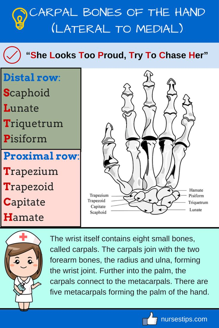 CARPAL BONES OF THE HAND (LATERAL TO MEDIAL)
