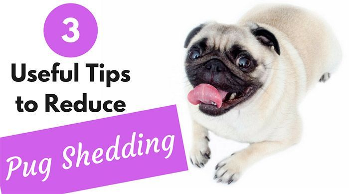 How To Reduce Pug Shedding Check Out These Useful Tips To Reduce