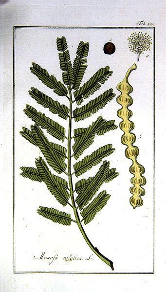 Las plantas en el A.E: Acacia nilótica
