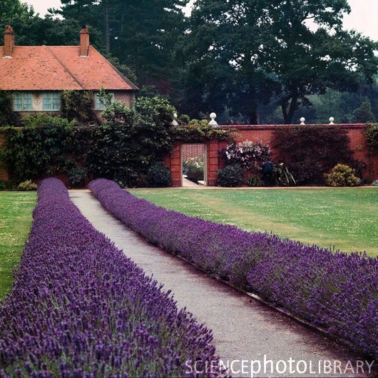 A Border Of Lavender Up Both Sides Of The Front Steps