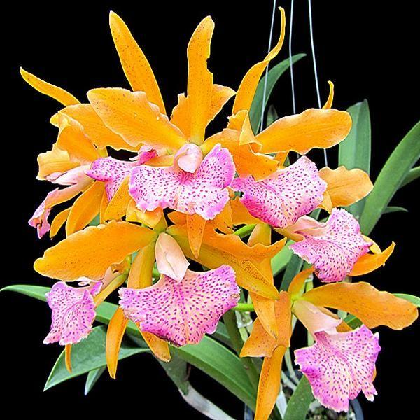 Cattleya Cahuzacara Jairak Conure In 2020 Cattleya Orchid Cattleya Orchids