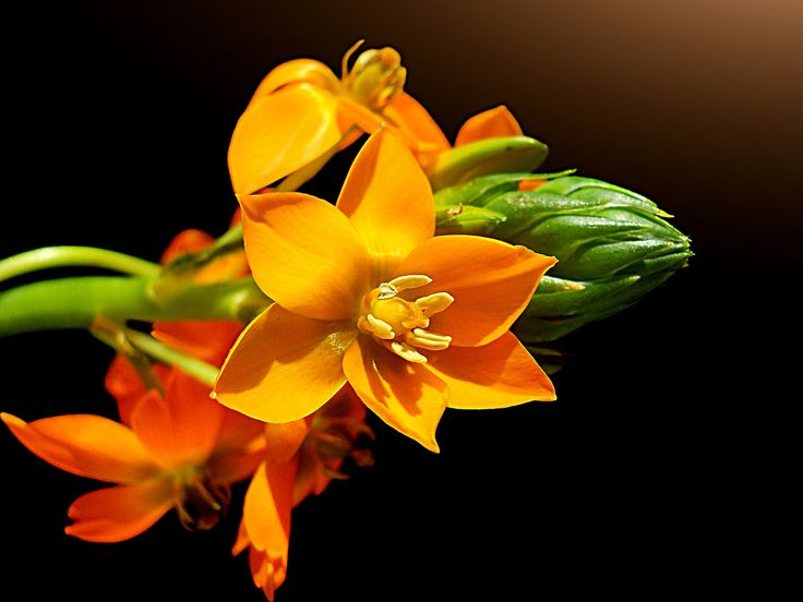 """https://flic.kr/p/ahWkXH   Color rocket   """"Ornithogalum Thyrsoides"""", Chincherinchee, Star of Bethlehem, Kap-Milchstern.  Once again a Chincherinchee. I'm in love with the fantastic colors of this beautiful flower.   You can buy and visit this picture at : Getty Images   Please don't use this image on any websites, blogs or other media without my explicit permission.  © All rights reserved"""