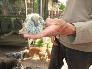 Fleur et Lumière: Bébés pigeons chez mes beaux parents