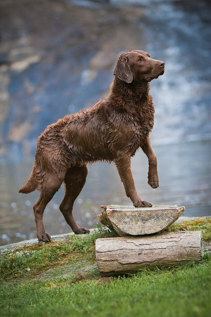 ☀Chesapeake Bay Retriever. I wonder if our Buddy is going to look like this when he's all grown!?