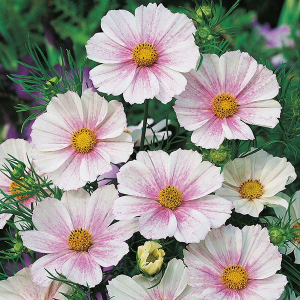 Cosmos Seeds Versailles Flush Blushed White Cosmos Bipinnatus Cosmos Flowers August Flowers Flowers Uk