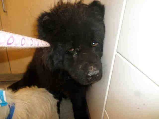 """CODE RED! ONLY 2yr old boy """"Midnight""""! OVER 2 weeks in HI KILL Riverside S.CA since Oct 30!! SHARE to blk dog rescues, etc! Neglected sad chow boy needs RESCUE NOW! PLEDGE FOSTER ADOPT SHARE RESCUE, WAYYY OVERDUE!!! CONTACT NOW!! Riverside Co. A/C - Riverside Shelter (951) 358-7387 ID#A0937987 apparently dog friendly, in kennel in pic w/ another small dog."""