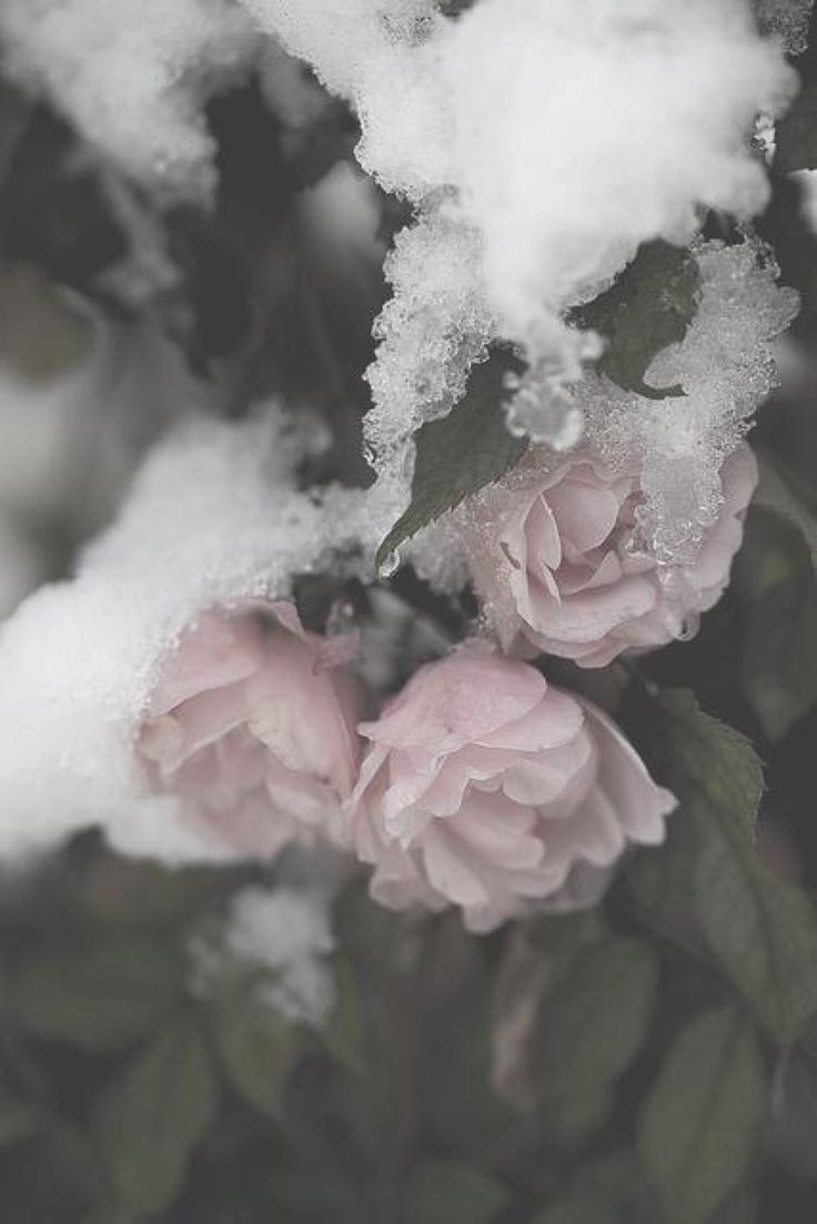 Roses in the snow signs of it flowers snow rose - Boy with rose wallpaper ...