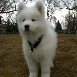 Download Samoyed Chubby Adorable Dog - 5c42dd8ddd28a2b1d5e8d2a675728cd8--samoyed-puppies-white-dogs  Pic_201079  .jpg