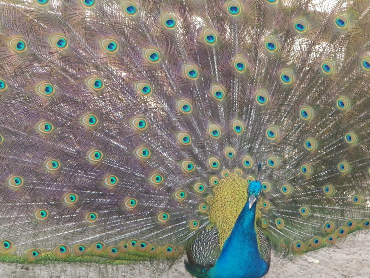 Pavo real, belleza y perfección de la naturaleza en sus plumas. Casuso Fotos