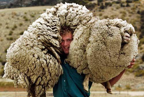 Shrek het schaap wist zich 6 jaar lang te verstoppen in het scheerseizoen. Daardoor ging hij lijken op een grote broccoli, volgens Jelle De Beule.