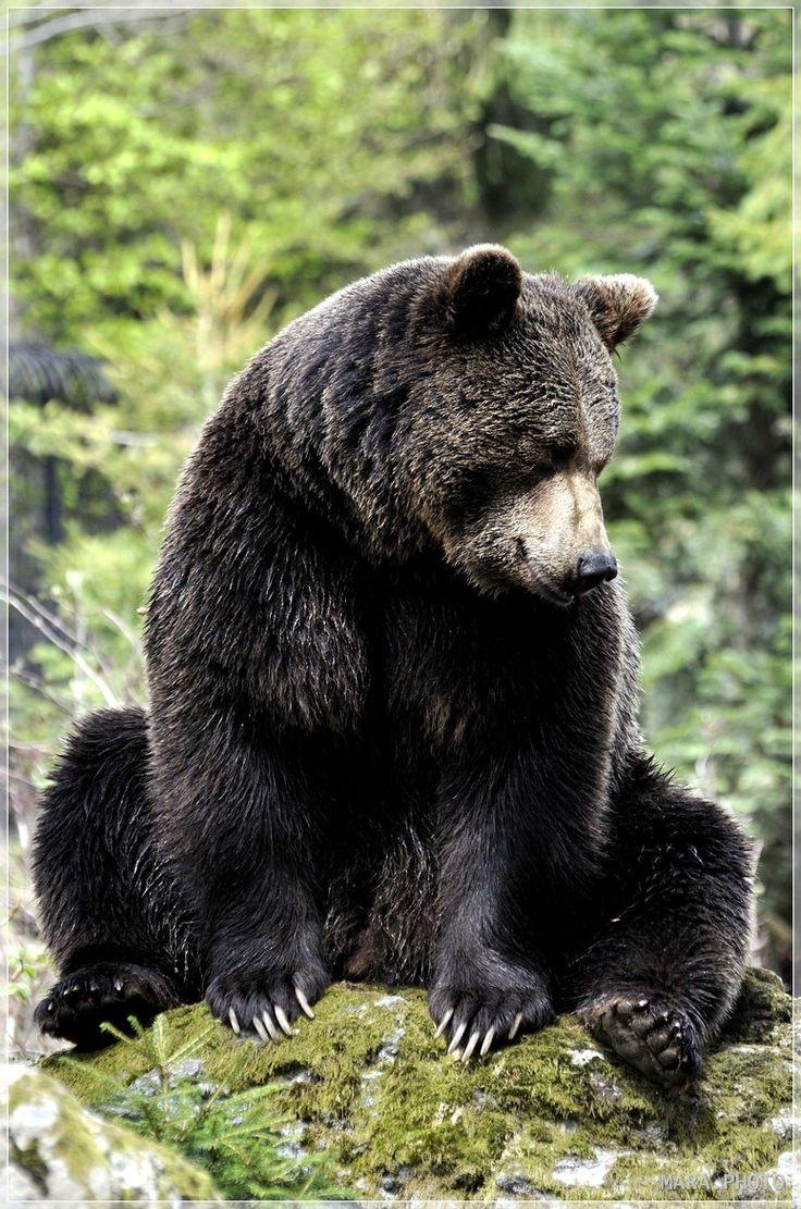 brawn bear - http://www.facebook.com/pages/Protégeons-les-ours/315306851859572