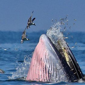 Bryde's whale - naturegalleries.net.   Birds are trying to get some small fish flying around her mouth.