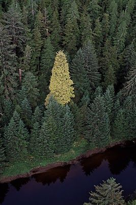 Golden spruce tree - Queen Charlotte Islands (BC, Canada)