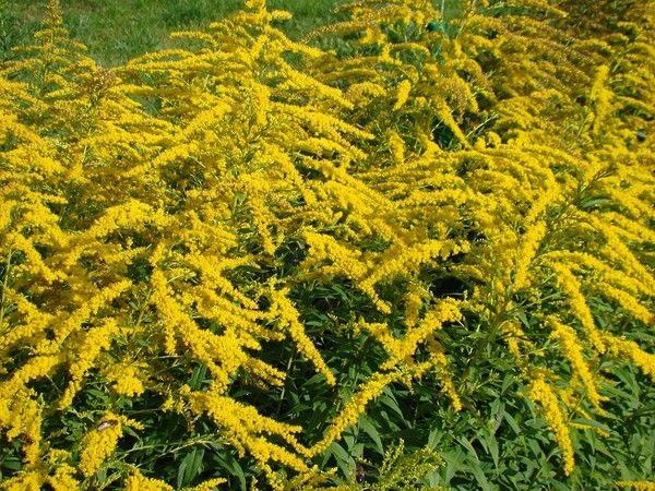 Nawłoć pospolita (polska mimoza) - odmiany, uprawa i właściwości