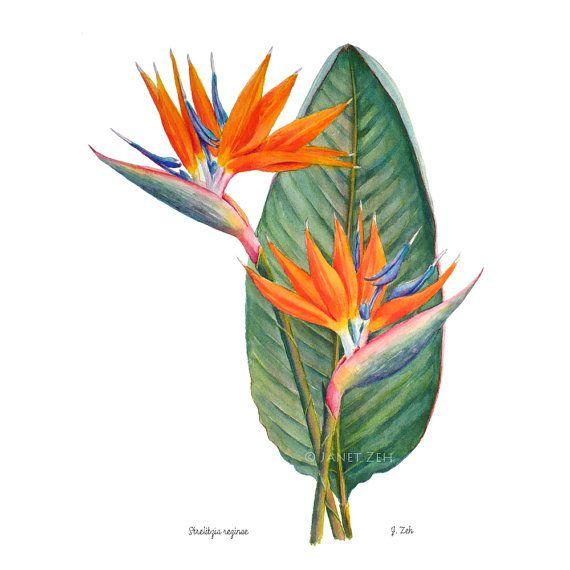 Oiseau de paradis fleur botanique Print Strelitzia reginae