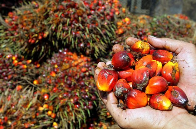 Palm oil fruits at a plantation in Medan, North Sumatra province, Indonesia. Millions of acres of forest have been cleared to create palm oi...