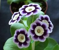 Light-centred Alpine Auricula 'Blue Yodeller' - Bred by Ken Bowser in 2001 from Victoria de Wemyss.