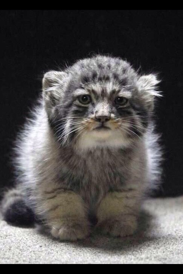 How cute is this precious.cub? This is a baby snow leopard, an endangered species!!