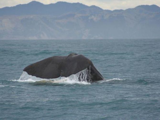 Wieloryb w Bałtyku. Pierwszy raz od 2007 roku (fot. sxc.hu)