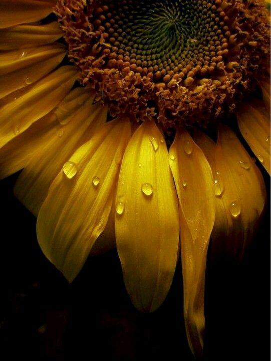 dew on Sunflower