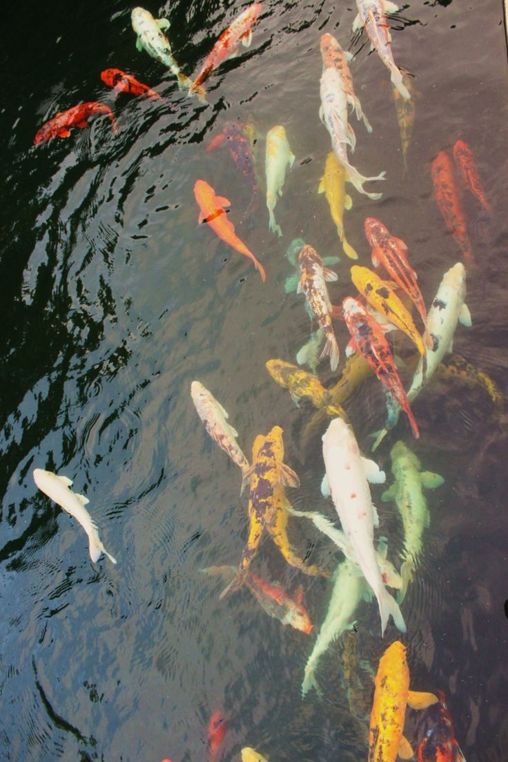 1000 images about koi on pinterest japanese koi for Wild koi fish