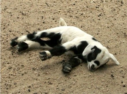 Fainting Goat!!!! One day I will have some of these.