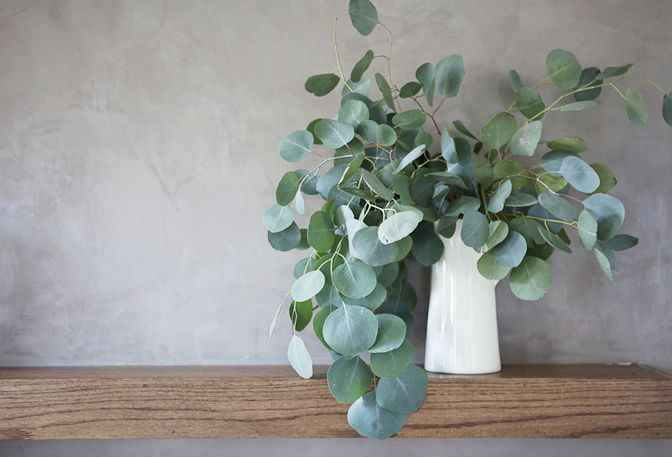 Silver Dollar Eucalyptus: all year