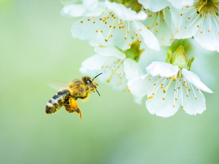 Sie wollen dem Bienensterben entgegenwirken und den emsigen Tierchen etwas Gutes tun? Dann sollten Sie bei Ihrer Garten- und Balkonplanung auf diese Pflanzen setzen. Die folgenden gehören zu den besten Nahrungsquellen für Bienen