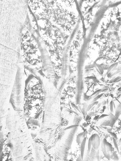 """Moreton Bay Fig Tree""   graphite drawing  by  Irena Kristina Rose Forrester        Copyright  2016  all rights reserved"
