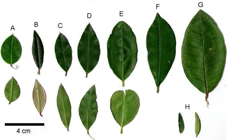 Figura 1: Hojas de myrtáceas chilenas; A = Luma apiculata (Arrayán), B = Ugni molinae (Murta), C = Amomyrtus luma (Luma), D = Amomyrtus meli (Meli), E = Blepharocalix cruckshanksii (Temú), F = Myrceugenia planipes, G = Myrceugenia exsucca (Pitra), H = Myrceugenia parvifolia.