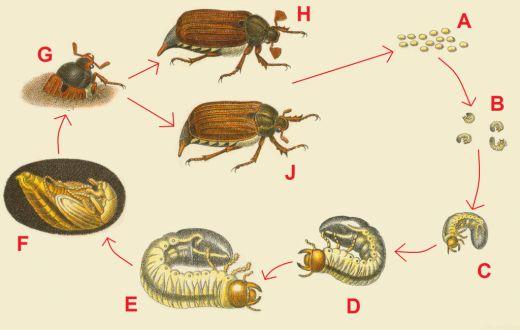 Майский жук – один из самых навязчивых и опасных вредителей сада и огорода. Его личинки растут и развиваются в почве на глубине около 10-15 см, они довольно подвижны и активно поедают корни и листья в...