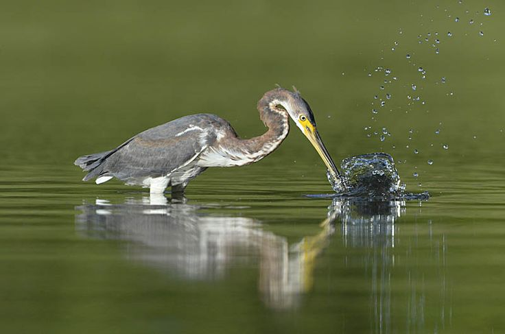 Tricolored Heron - Egretta tricolor Copyright Paul Sterry/Nature Photographers Ltd