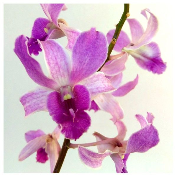 Pin On Orchid Tree Collections Com
