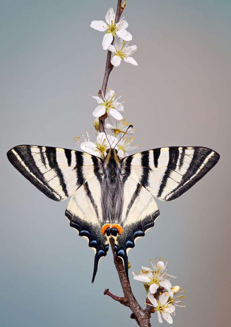 Swallowtail butterfly by Marco Fischer**