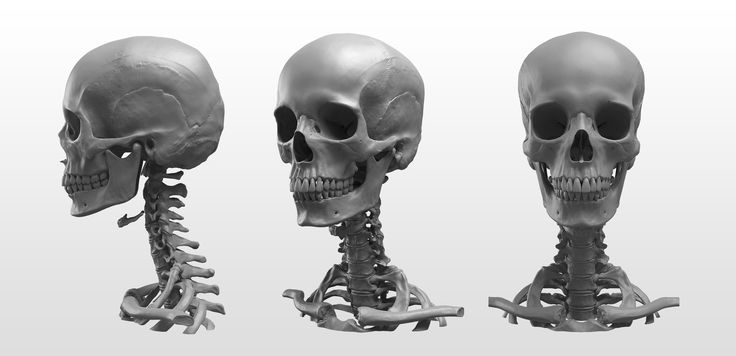 """""""Anatomy of the Head Series"""": The highly detailed sculptures in the link were done entirely in #ZBrush by New Masters Academy Cofounders Eric Michael Wilson and Joshua Jacobo. http://zbru.sh/fa"""