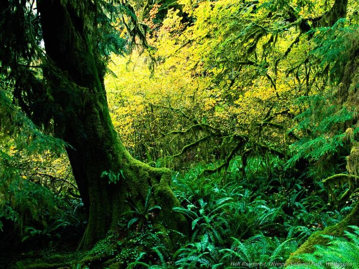 ,: Favorite Places, Rainforest Wallpaper, Nature, Olympic National Parks, Trees, Rainforests