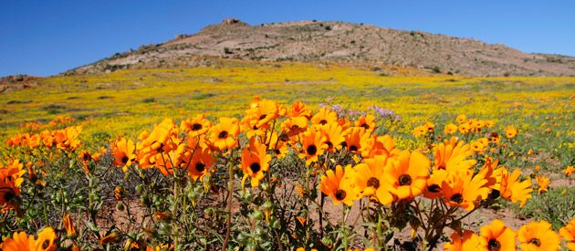 Namaqualand: colours flourish into technicolour magic.