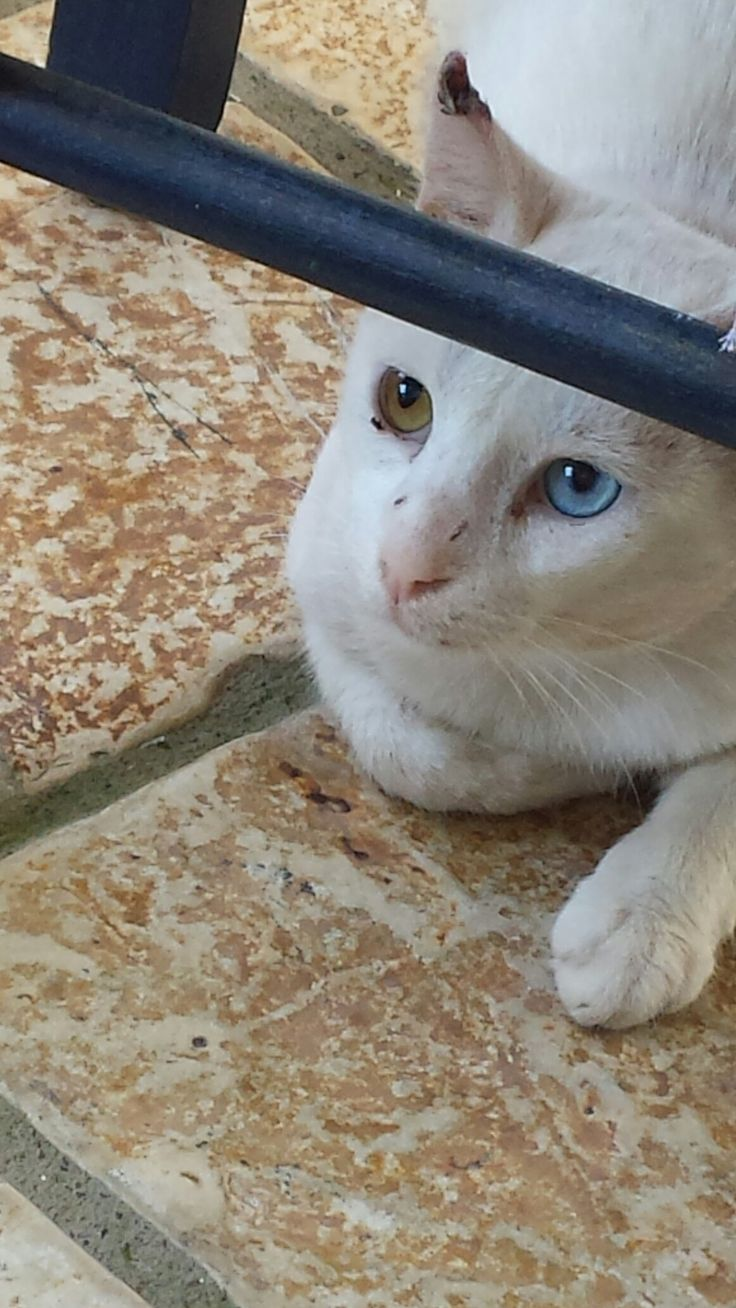 White cat with light brown and blue eye in the village of Agios Nikitas island of Lefkada