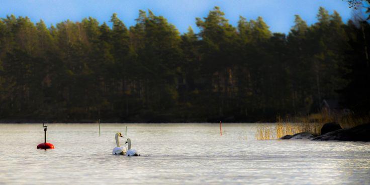 Swans enjoying the sunny day in Pellinki archipelago