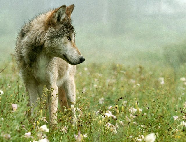 White Wolf: Shades of Gray: Living with Wolves (Video)